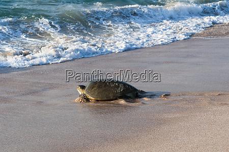 green turtle on beach heading back