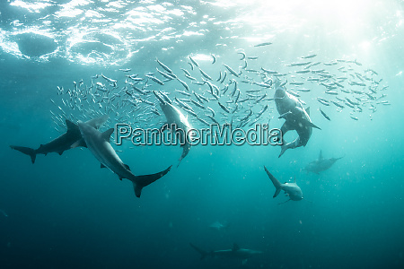 sardine baitballs being hit by multiple