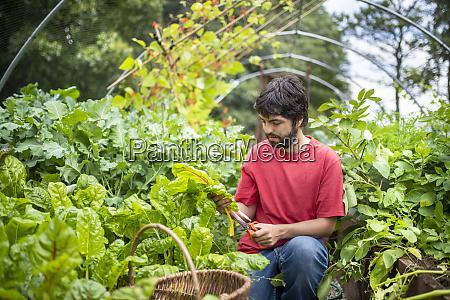 gardener picking swiss chard leaves in