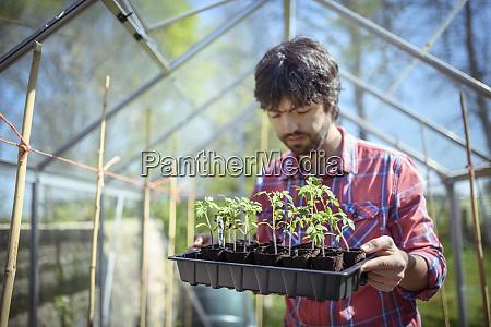 gardener planting out tomato seedlings in