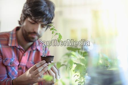 gardener growing tomato seedlings indoors for