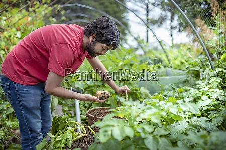 gardener digging up new potatoes in