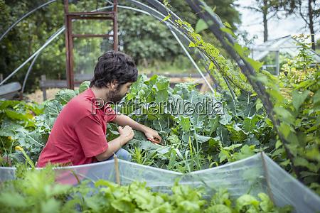 gardener picking broccoli in organic vegetable