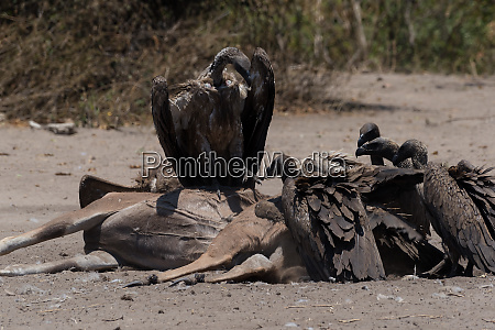 white backed vultures eat the carcass