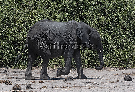 big african elephant in the chobe