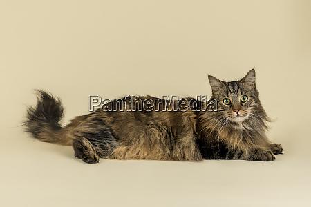 cats norwegian forest cat 2019 24988