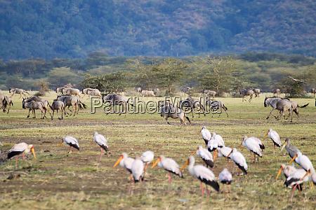 wildebeest herd with birds in foreground