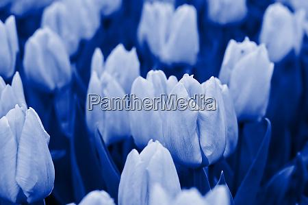 tulips blue toned