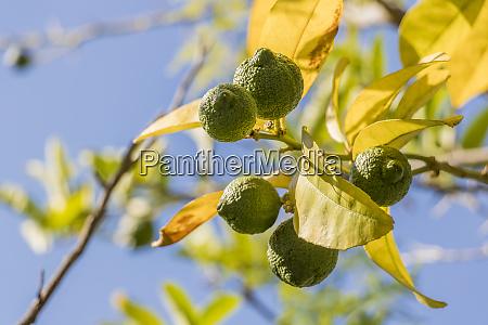 lime lemon tree in gardens of