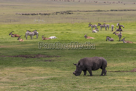 big five black rhino without horn