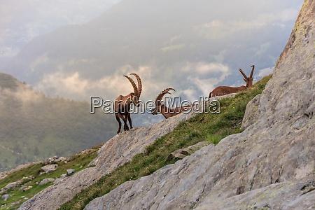 ibex range of mont blanc