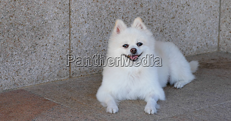white pomeranian dog sit on the