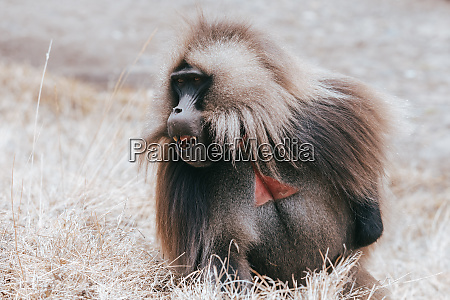 endemic gelada in simien mountain ethiopia