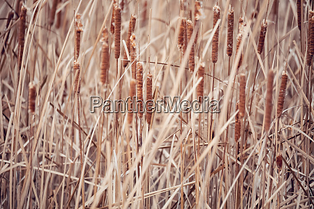 orange reeds blowing in the wind