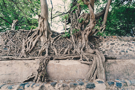 tangle of massive roots ethiopia