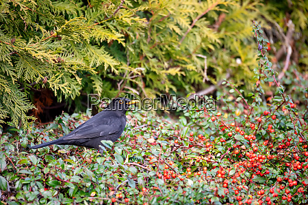 male of common blackbird in garden