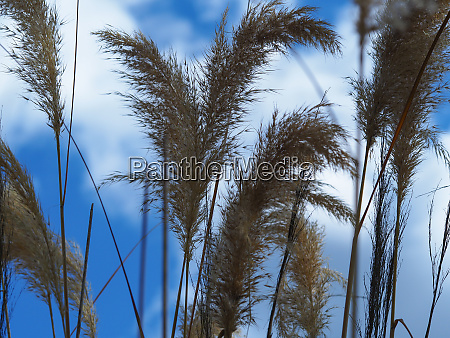 tall ornamental grasses and a blue