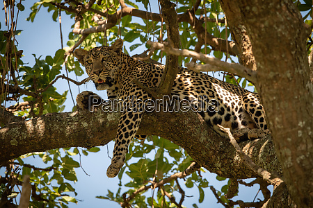 leopard lies on branch dangling front