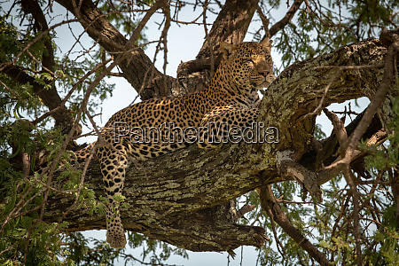 leopard lies on branch with leg