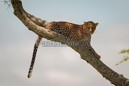 leopard lies on diagonal branch dangling