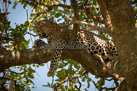 leopard lies on twisted branch dangling