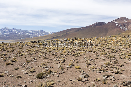 a guanaco herd in andes
