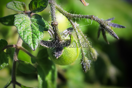 closeup of fuzzy unripen tomatoes growing