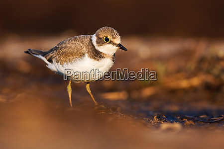 young little ringed plover wading in