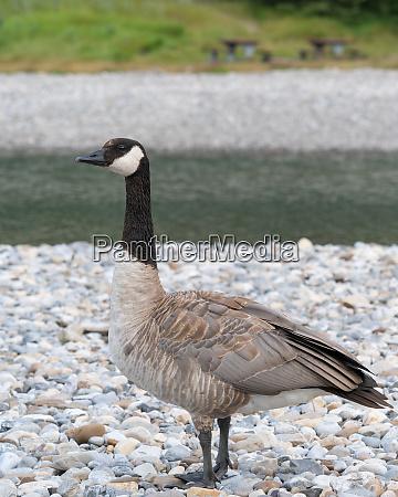 canada goose branta canadensis image was