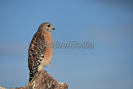 red shouldered hawk in everglades national