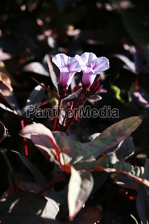 cultivated form of sweet potato ipomoea