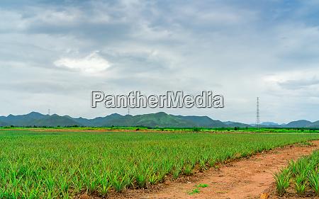 pineapple plantation landscape pineapple farm and