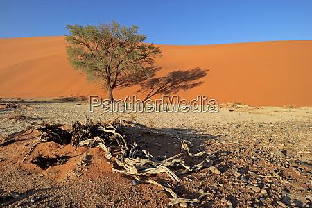 sand dune and tree namib