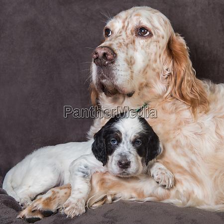 english setter big dog mother and