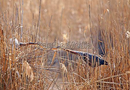 purple heron ardea purpurea in april