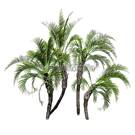 several curly palms