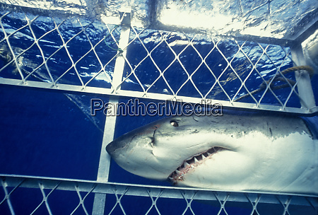 great white shark carcharodon carcharias dangerous