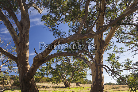 australia barossa valley mount pleasant gum