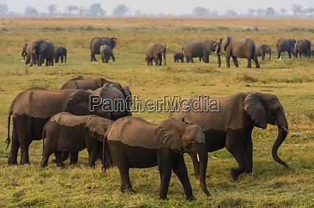 herd of african elephants loxodonta africana