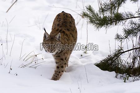 european lynx lynx linx captive bavarian