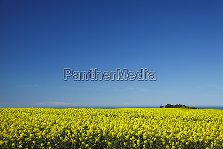 rapeseed field near timaru south canterbury