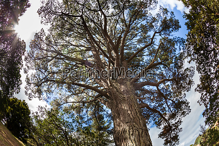 ancient pine above auckland new zealand
