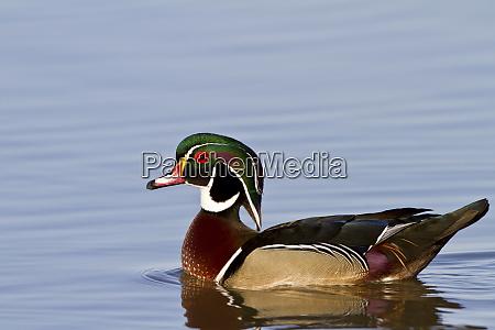 wood duck aix sponsa male in