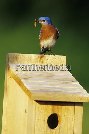 eastern bluebird sialia sialis male with