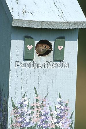 house wren troglodytes aedon on nest