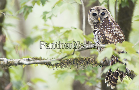 louisiana near vacharie barred owl strix