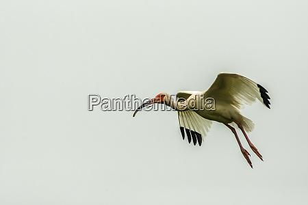 usa louisiana millers lake white ibis