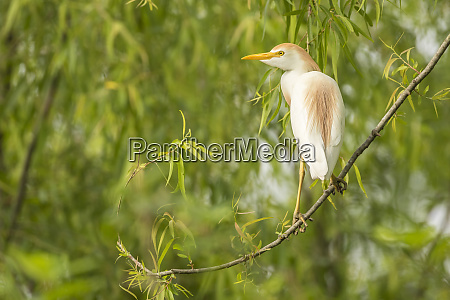 usa louisiana millers lake cattle egret