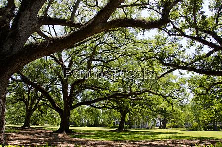 louisiana new orleans area vacherie oak