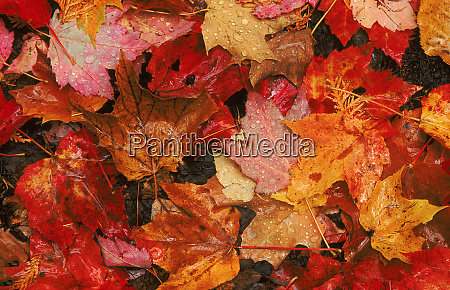 usa maine autumn maple leaves credit